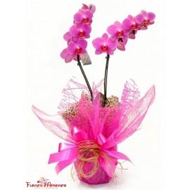 Orquídea Phalaenopsis Especial 2 Hastes